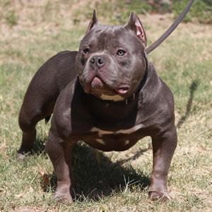 Resultado de imagen para Bully 子犬